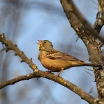 Ortolan singing on a branch.