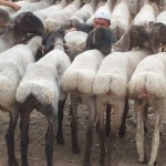 Fat-tailed sheep show the fat on their backsides.