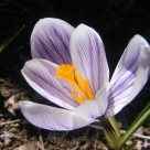 World's most expensive foods: saffron crocus.