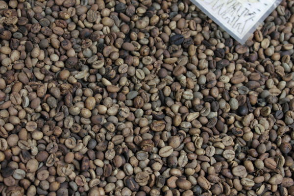 World's most expensive foods: cleaned but unprocessed kopi luwak beans.