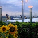 A sunflower garden by the planes at Singapore's Changi Airport.