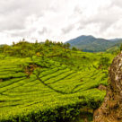 Malabar Tea Estate.