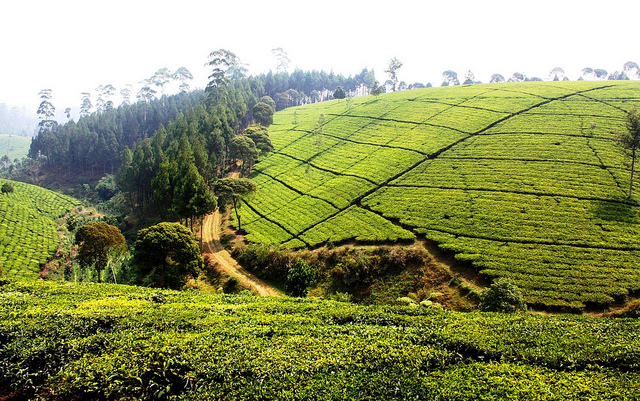 Tea plantations around Bandung.